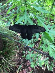 結界のごと翅拡げ黒揚羽