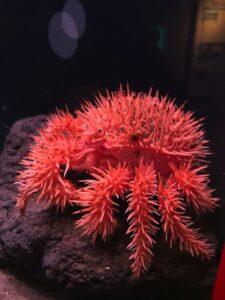 剣山にまがふ棘棘春の蟹