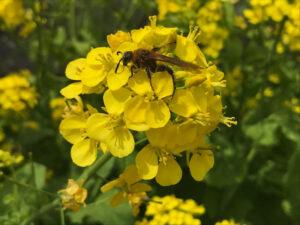 菜の花は蝶に化すことなく蜂に