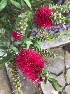 夏めくや花粉を飛ばすブラシの木