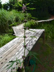 木道の標識めきし益母草